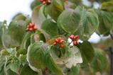 花水木の実1