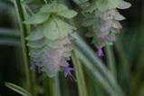 オレガノの花1