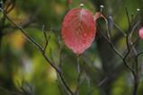 花水木の紅葉1