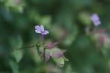 ハーブ オレガノの花