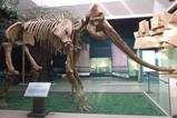 A恐竜&化石03_黄河古象