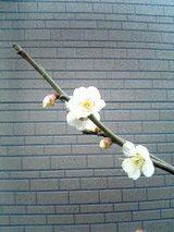 春の先取り・梅