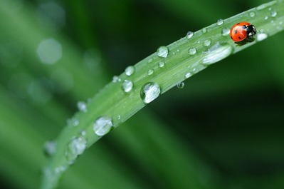ladybug-drop-of-water-rain-leaf-40731-2
