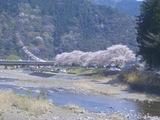 2008桜�