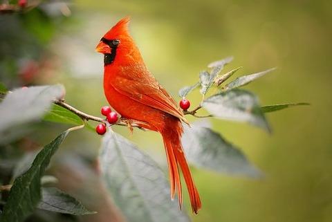 cardinal-2872966__340
