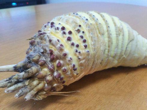 【画像】「風の谷のナウシカ」の王蟲そっくりなタケノコが話題wwwwww