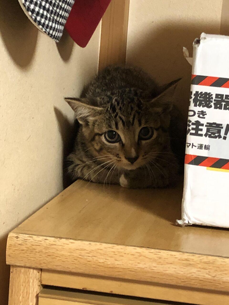 【朗報】最もかわいい猫の柄、「キジトラ」に決まるwwwww