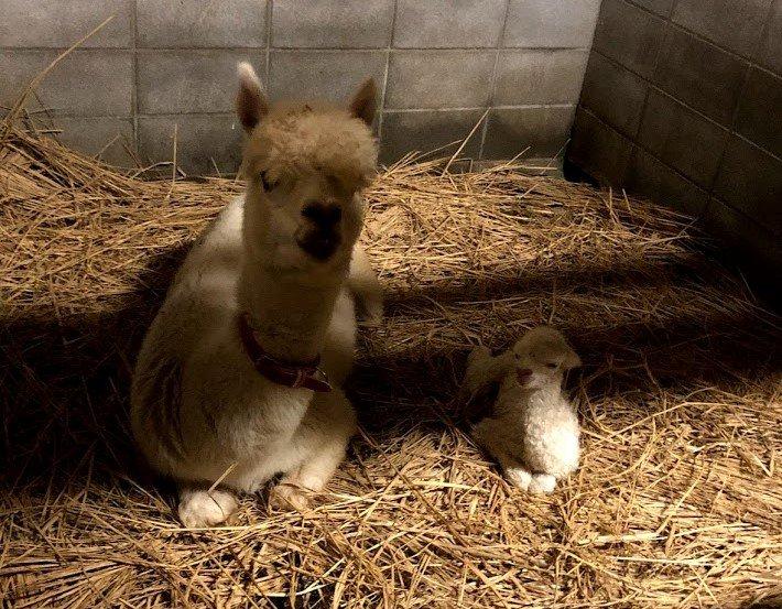 アルパカの赤ちゃん名前募集!【東武動物公園】