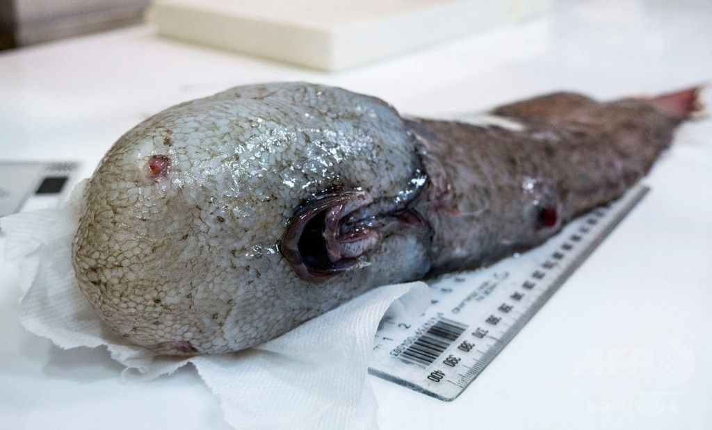 【閲覧注意!?】豪東部沖の深海で「顔のない魚」