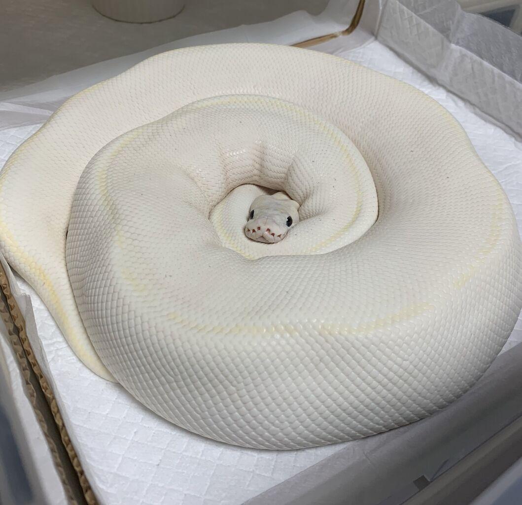 【画像】蛇さん、ホールケーキみたいになる