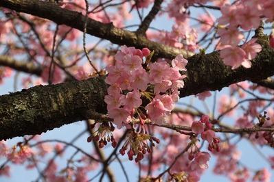 黒石川沿いに咲く1本の河津桜