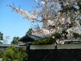 お寺の桜1