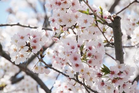瀬戸川沿いの桜