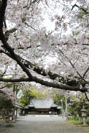 焼津神社の桜、満開♪