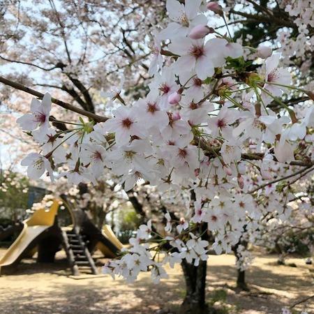 焼津神社も見頃です