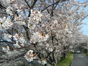 瀬戸川の桜