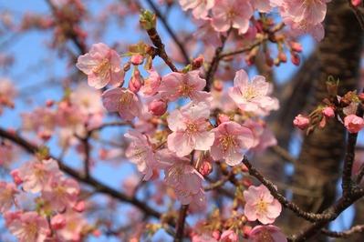 朝比奈川沿いの河津桜、咲き始めました♪