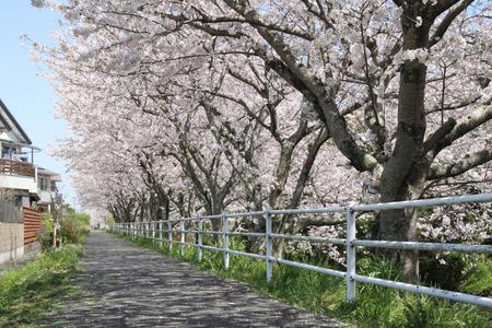 黒石川沿いの桜