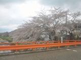 角館桜並木4