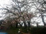 角館桜並木1