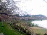 角館桜並木2