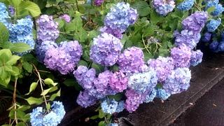 十和田湖温泉郷の紫陽花1
