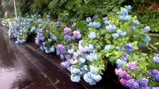 十和田湖温泉郷の紫陽花2