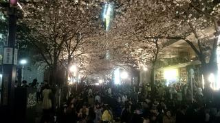 八重洲の桜