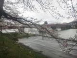 角館桜並木3