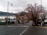 角館桜並木5