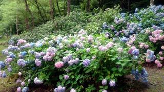 龍泉洞の紫陽花
