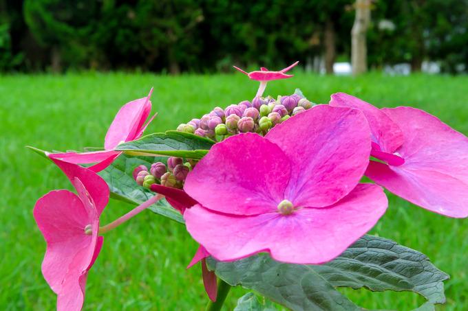 エゾ梅雨に咲く紫陽花