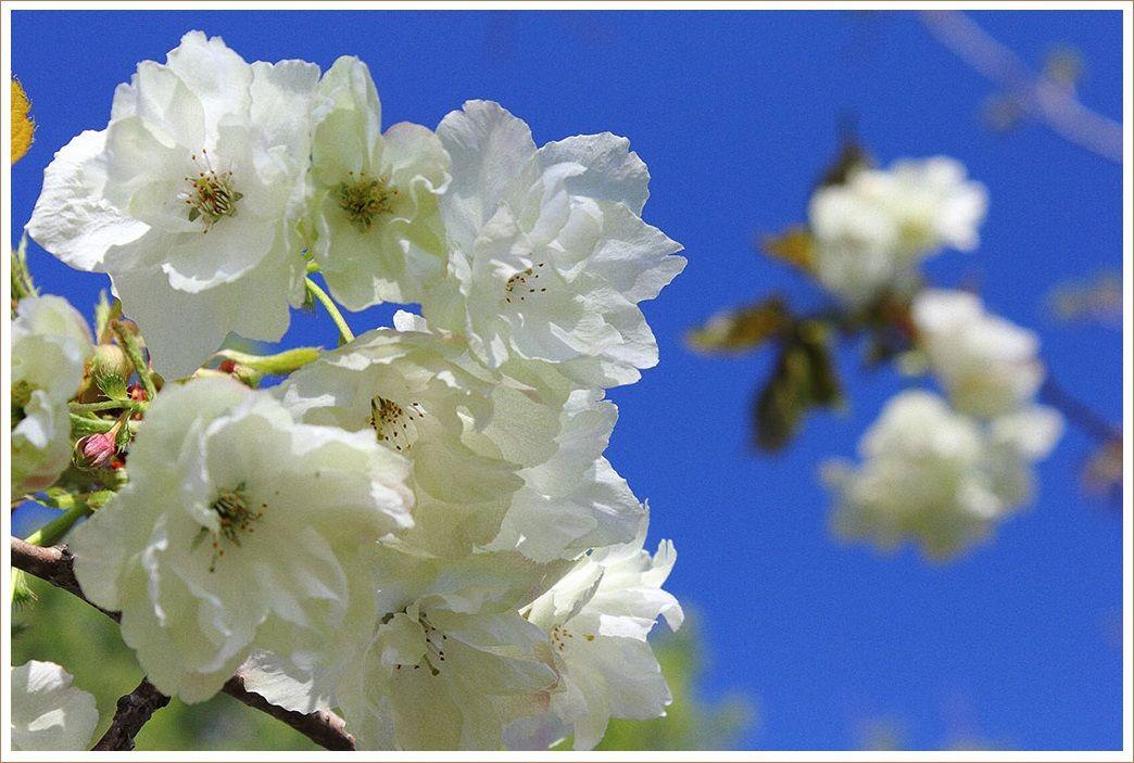 ウコン桜も咲きました