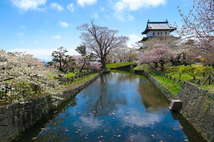 松前公園で桜三昧