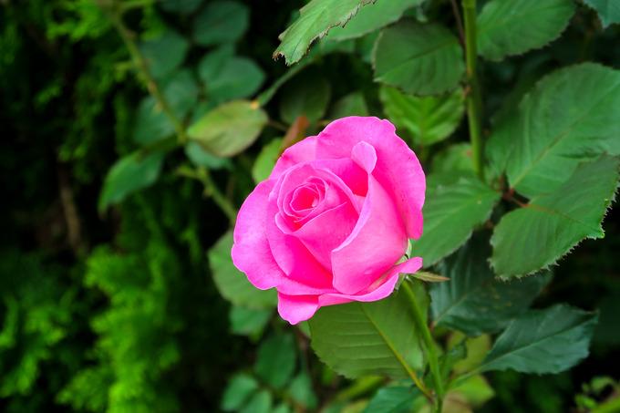 名残のバラ