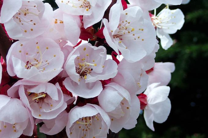 北海道は梅と桜が一緒