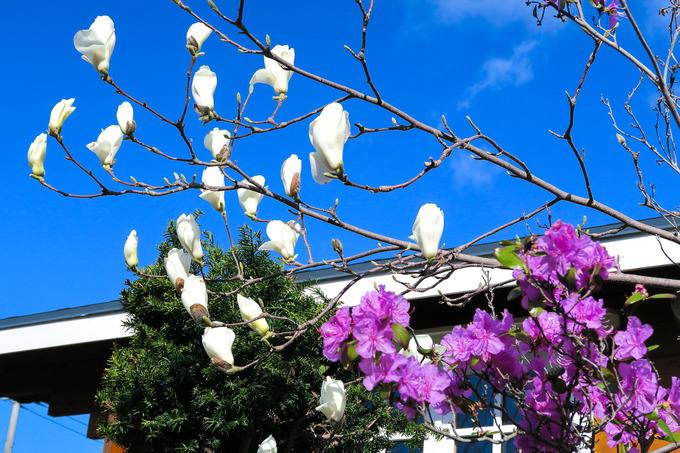 春の樹木の一番手 木蓮と姫コブシ