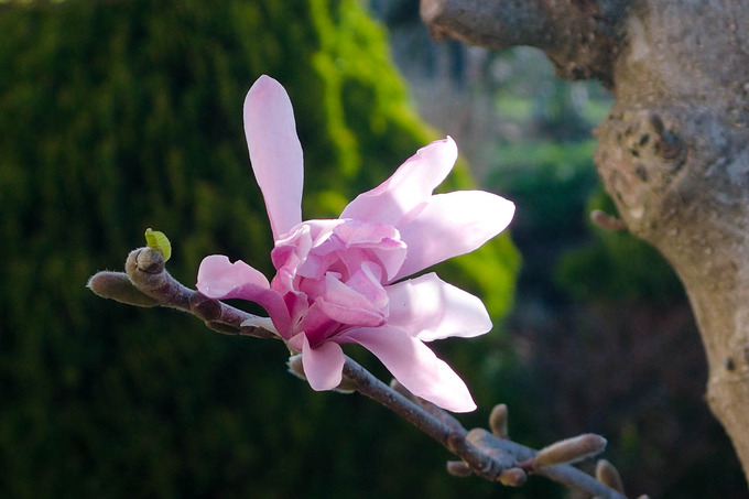 春色第二弾 コブシ