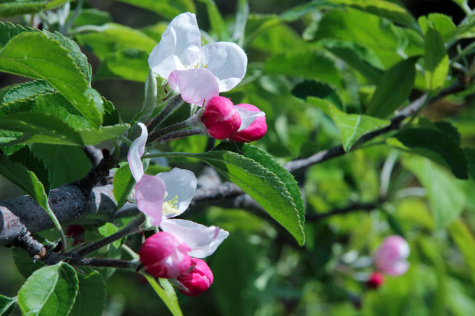 リンゴの花も咲き出して