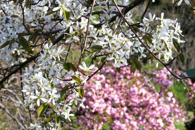 白い花の咲くころ ジューンベリー