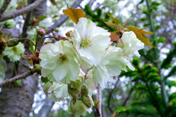 桜はそろそろフィナーレ