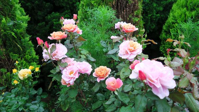 夏真っ盛りに咲くバラ