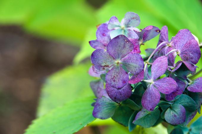 紫陽花もみじ