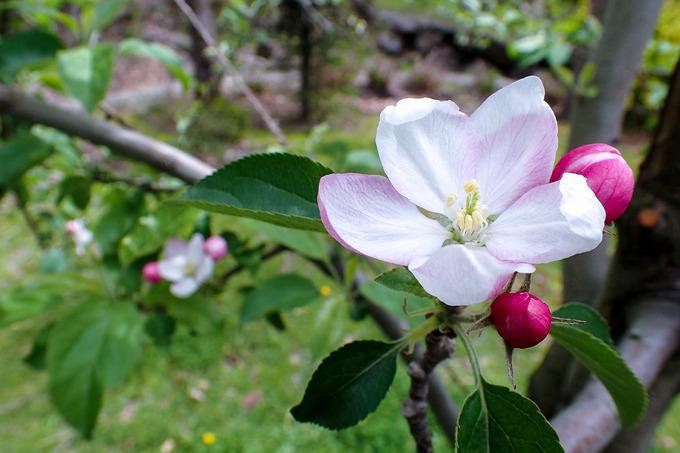 リンゴの花ほころび・・・