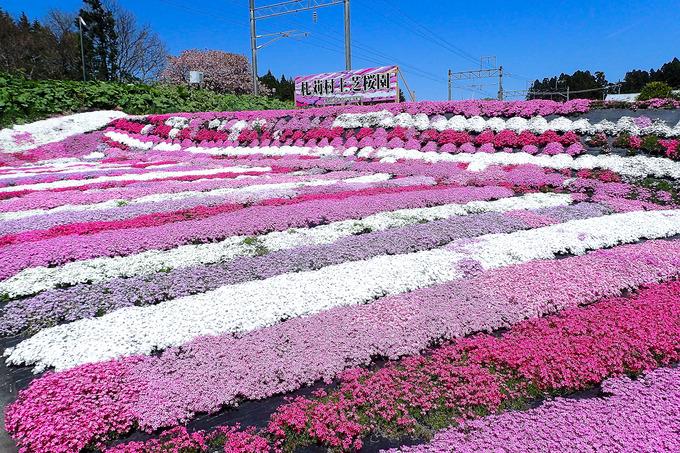 木古内町の芝桜園へ