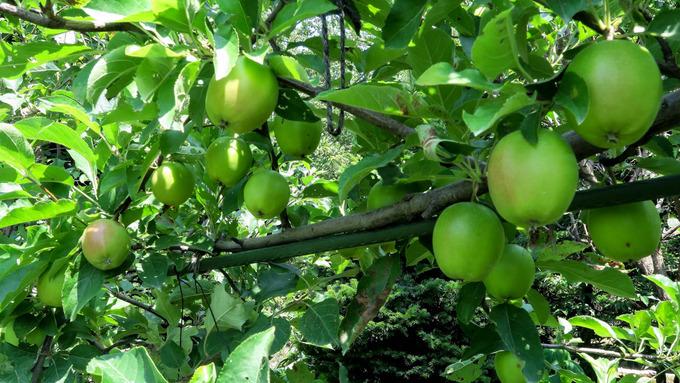 リンゴが一段と大きく