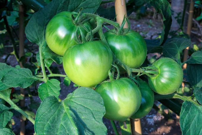 やっとトマトなどの初収穫