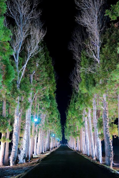 トラピスト並木道のライトアップ
