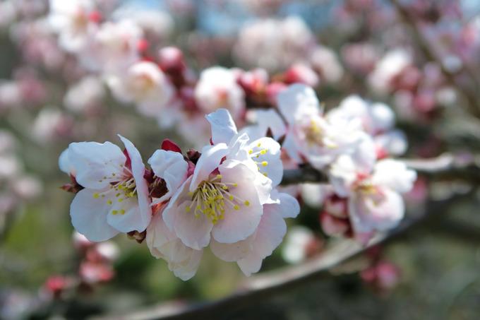 桜より梅が先に開花
