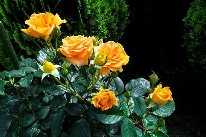雨後に咲くバラ